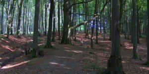 Zabłocie las bukowy